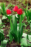 Trio tulips in drops after rain in springtime. Trio red tulips in drops after rain in springtime Stock Image