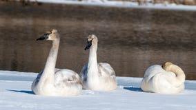 Trio of Tundra Swans. Three tundra swans sit in the snow Royalty Free Stock Photos