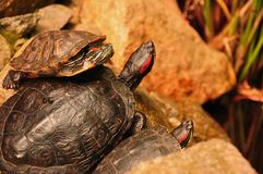 A Trio of Turtles Royalty Free Stock Photography