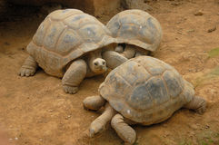 Trio of turtles. Trio of big turtles in park paradisio belgium Royalty Free Stock Photo