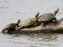 Trio of Turtles in Texas Royalty Free Stock Photos