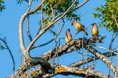Trio van Cedar Waxwings Eating Red Berries royalty-vrije stock foto's