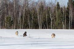 Trio van Grey Wolves Canis-wolfszweerlooppas door Gebied royalty-vrije stock fotografie
