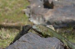 Trio van Leguanen op een Rots stock foto