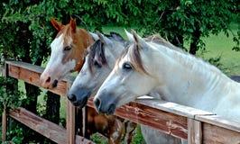 Trio van Paarden bij de landelijke Boerderij stock afbeelding