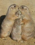 Trio van Prairiehonden - de Omhelzing van de Groep Stock Fotografie