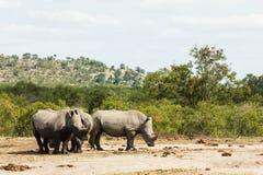 Trio van Rinoceros royalty-vrije stock foto