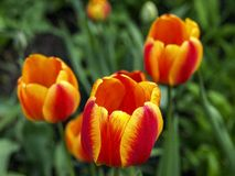 Trio van tulpen Stock Afbeelding