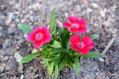Trio von blühenden rosa Blumen Lizenzfreie Stockbilder