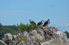 Trio von drei Ospreys gehockt auf einem Nest Lizenzfreie Stockfotos