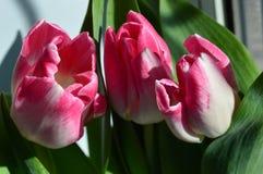 Trio von rosa Tulpen stockfotos