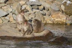 Trio von Schnee-Affen auf einem Felsen Lizenzfreies Stockfoto