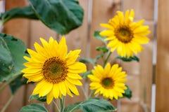 Trio von Sonnenblumen vor Zaun Lizenzfreies Stockbild
