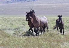Trio von wilden Pferden in Utah stockbilder