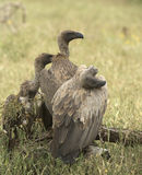 Trio of vultures Royalty Free Stock Photos