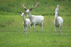 Trio of white deer Royalty Free Stock Photos