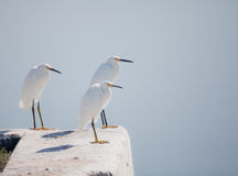 Trio Of White Egrets Royalty Free Stock Image