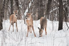 Trio of White-Tailed Deer in Snowy Woods Royalty Free Stock Images