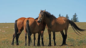 A Trio of Wild Horses in Montana Stock Images