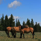 A Trio of Wild Horses in Montana Royalty Free Stock Photos