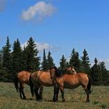 A Trio of Wild Horses in Montana Royalty Free Stock Photos
