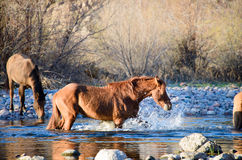 Trio of wild mares playing in the salt river Stock Image