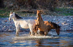 Trio of wild mares playing in the salt river Royalty Free Stock Image