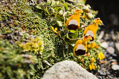 Trio of yellow white and black flowers on moss Royalty Free Stock Photography