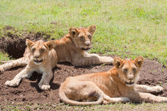 Trio Of Young Lions Stock Images