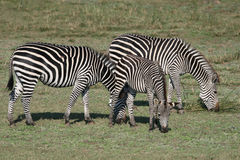 Trio Of Zebra. Three zebra feeding on the grass of the Luangwa Valley in Zambia Royalty Free Stock Photos