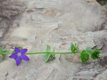 Triodanis perfoliata of het clasping Venus die glasbloem kijken royalty-vrije stock foto