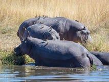 Triohippos met vogels die op hen zitten die uit rivierwater te voorschijn komen op kust, safari in Botswana te weiden royalty-vrije stock foto's
