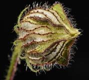 Trionum L. van de hibiscus. Stock Afbeelding