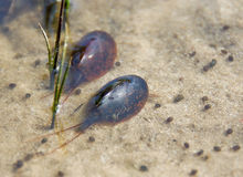 Triops Royalty Free Stock Images