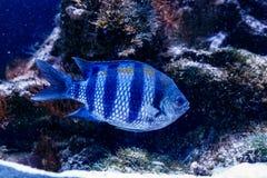 Triostegu de Zebra Acanthurus de chirurgien de poissons images stock