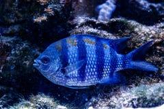 Triostegu de Zebra Acanthurus de chirurgien de poissons photos libres de droits