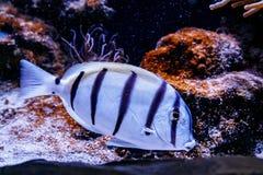 Triostegu de Zebra Acanthurus de chirurgien de poissons image libre de droits