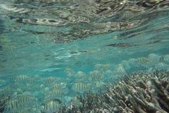 Triostegus Acanthurus surgeonfish каторжник стоковые фотографии rf