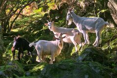 Trip of beautiful and cute white and black wild goats in sunlight standing on the rocks and seen in Wicklow Mountains
