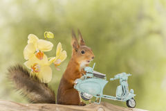 Trip with the moped. Red squirrel standing with moped with yellow orchids Stock Photos