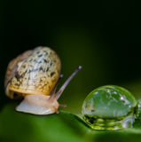 The trip snail. Snail saw his reflection in a drop Royalty Free Stock Photography
