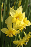 Tripartite Daffodil Stock Image