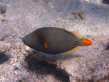 Triped orange fish Royalty Free Stock Images