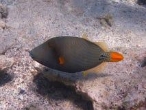 Triped Orangenfische Lizenzfreie Stockbilder