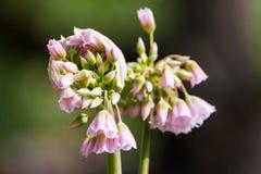 Tripedale dell'allium, piccoli fiori bianco-rosa sotto forma di campanule, natura, Fotografia Stock