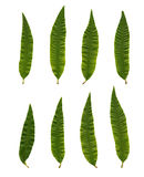 Triphylla di Aloysia (citriodora di Lipia) immagine stock libera da diritti