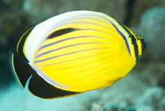 tripical的鱼 免版税库存图片