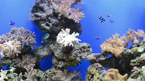 Tripical fishes and coral. In aquarium stock video