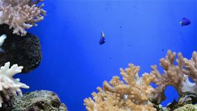Tripical fishes and coral. In aquarium stock video footage