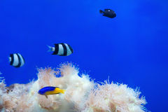 Tripical fishes and white coral Stock Image